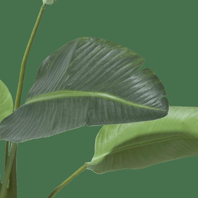 Coco Maison - strelitzia - 120 cm