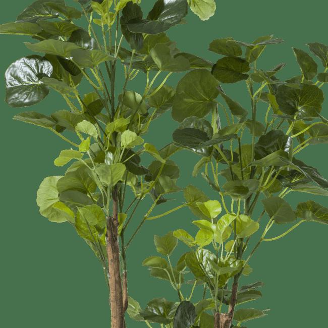 Coco Maison - polyscias tree - 160 cm