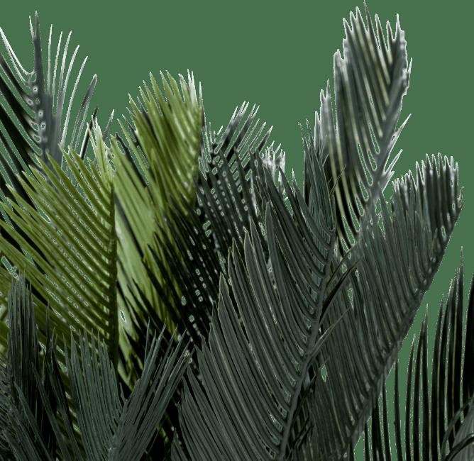 Coco Maison - cycas revoluta - 90 cm