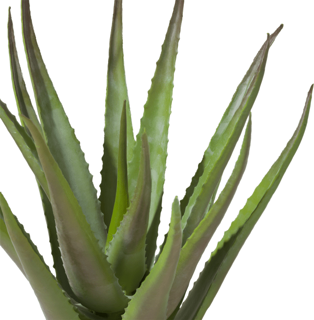 Coco Maison - aloe plant