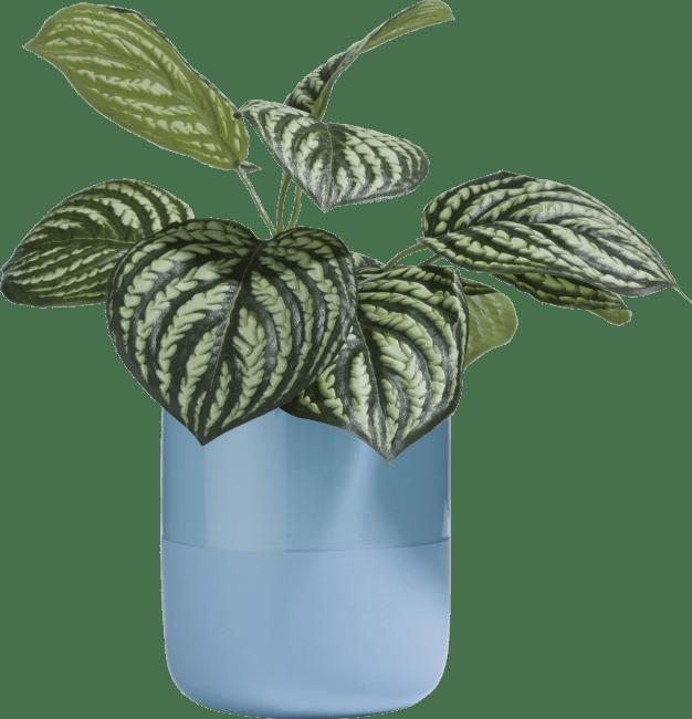 Coco Maison - peperomia bush - 30 cm