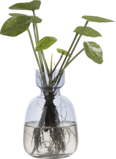 Coco Maison - pilea bush with roots - 24 cm