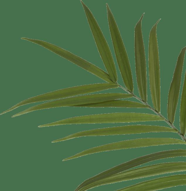 Happy@Home - Coco Maison - kentia palm h180cm